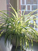 Spider plant by window.