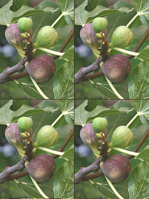 Brown Turkey Fig Tree Care http://w3flora.com/ficuscaricabrownturkeyfig4trees.aspx